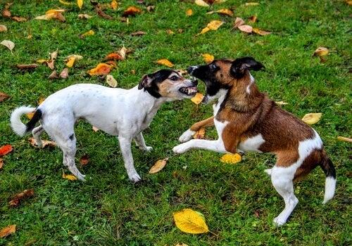 Hvordan kan du stoppe en slåskamp mellem hunde?