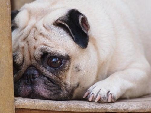 årsager til hunde græder