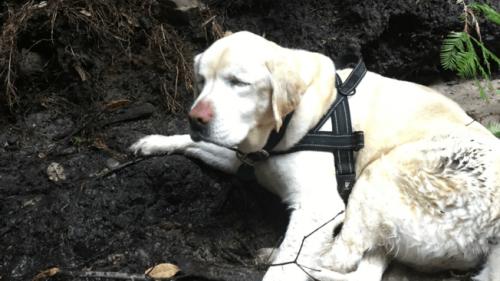 Blind labrador retriever overlever i skoven i en uge