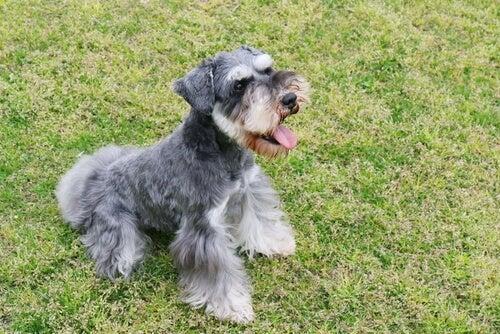 Hunde i gruppe 2: Race klassificering ifølge FCI