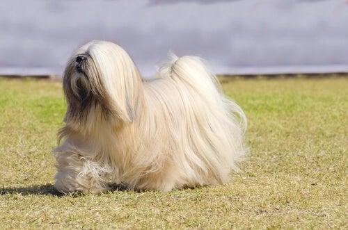 Hunde i gruppe 9: Race klassificering ifølge FCI