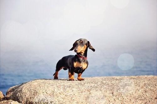 5 måder at passe på små hunderacer