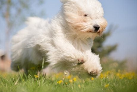 Pjusket hund