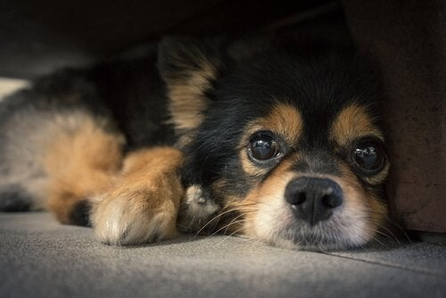 Hvorfor har hunde knurhår?