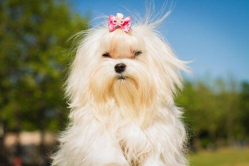 Lille hvid hund
