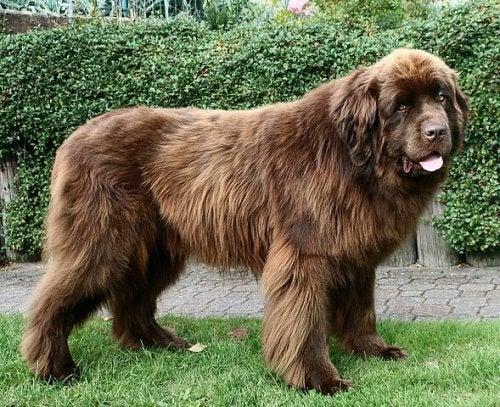 newfoundlænder stor hund