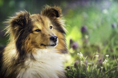 Hund med lang pels