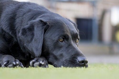 Normale sygdomme der påvirker ældre hunde