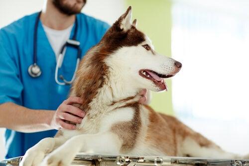 For og imod sterilisering af en hund