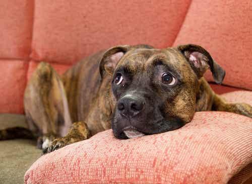 Sådan beroliger du en hund, som er bange for lyde