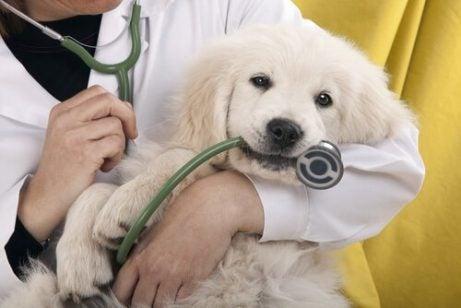 Lille hvalp hos dyrlægen