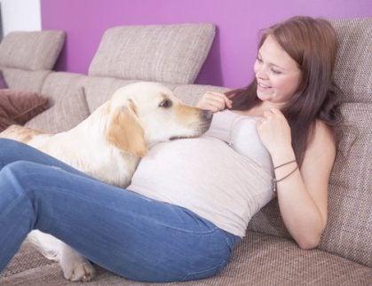 Hund hviler sit hoved på gravid mave.