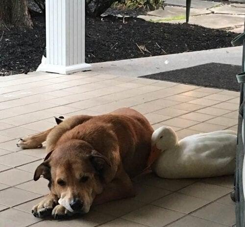 hund og and hviler sig sammen