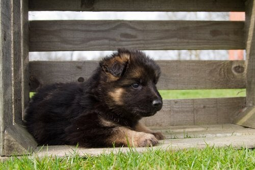 Alt hvad du skal vide om at opdrætte schæferhunde