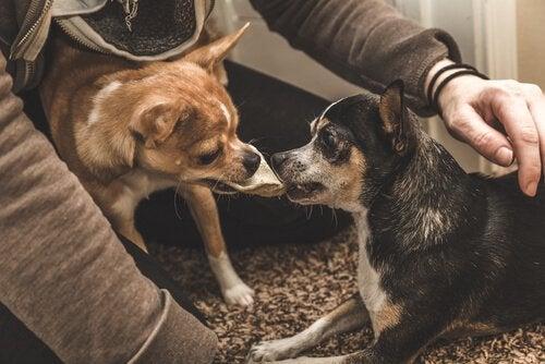 Hunde kæmper om mad.