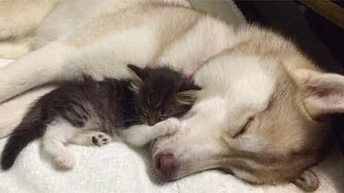 Lilo, huskyen der adopterede en kat