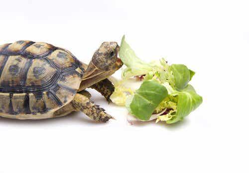 Sådan fodrer du en skildpadde