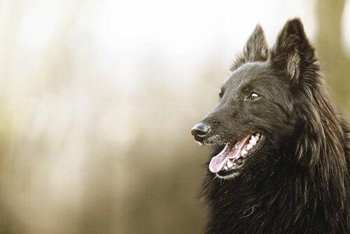 Smuk sort hund