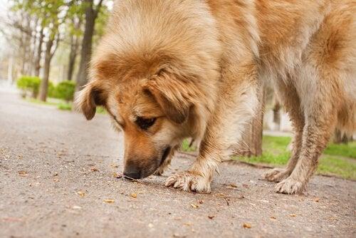 Sådan forhindrer du hunden i at spise ting fra jorden