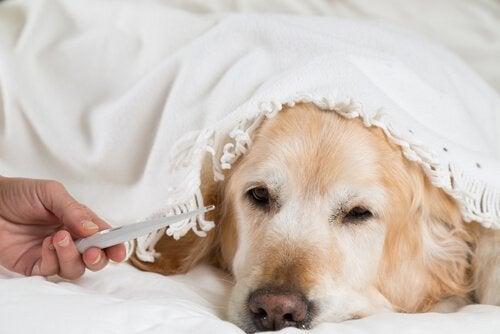 Sådan bruger du et termometer på din hund