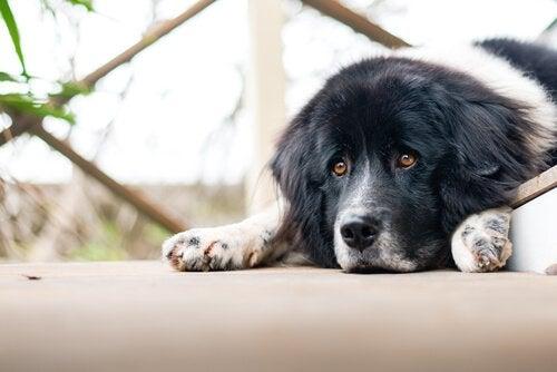 meget trist hund