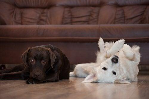 to hunde på stuegulvet