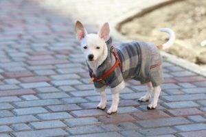 Lille hund med tøj på