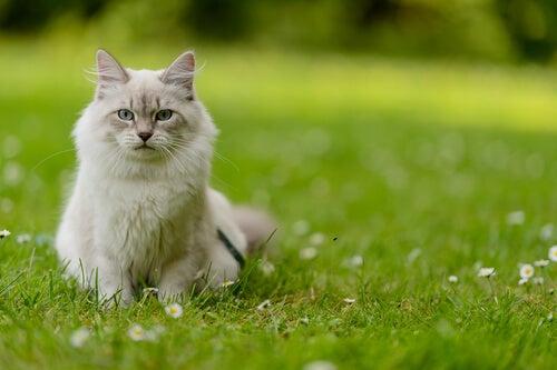 Kat på græsplæne