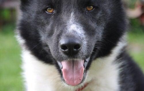 karelisk bjørnehund i nærbillede