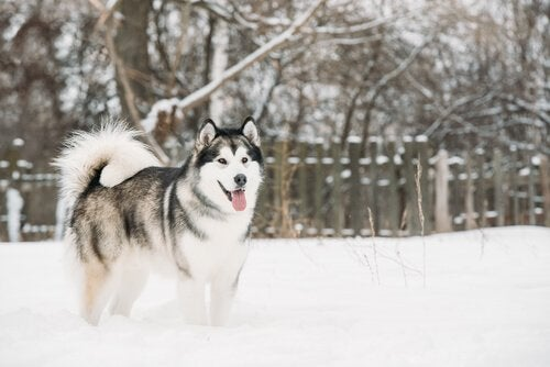 alaskan malamute i vintervejr