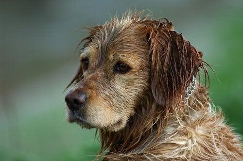 Sådan kommer du af med lugten af våd hund
