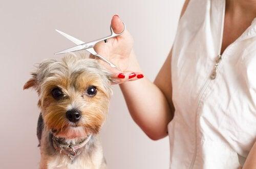Gode råd til hunde, der har det svært hos hundefrisøren