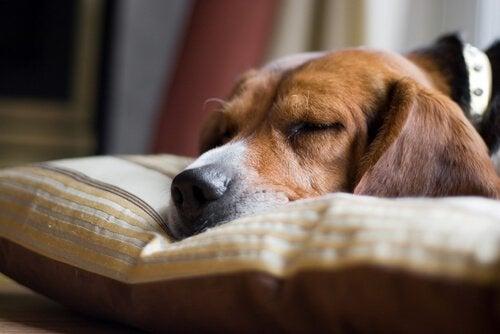 Hovedårsager til pludselig død hos hunde