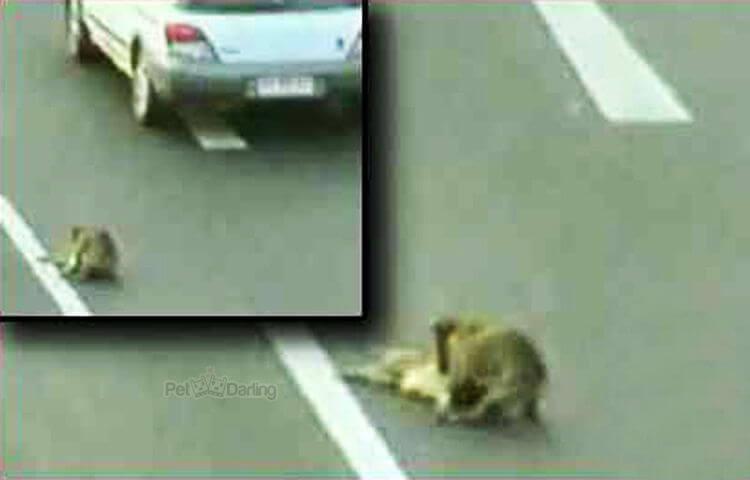 hund redder hund på hovedvejen
