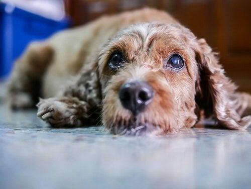 Grå stær hos hunde: Symptomer og behandling