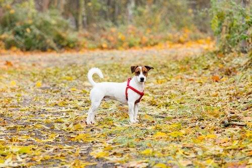 Hunde stjæles fra parker over hele Spanien