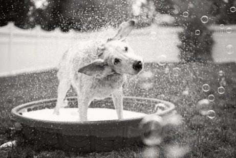 hvid hund ryster sin pels