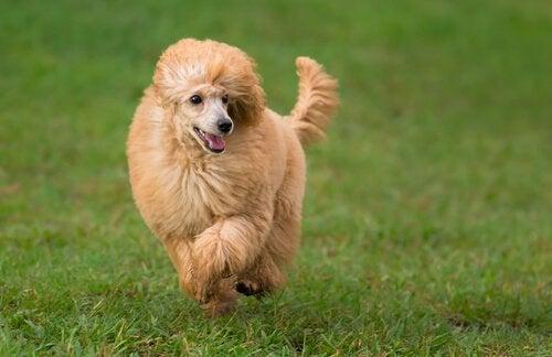 en flot puddelhund