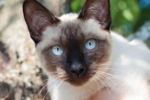 De elegante siamesiske katte