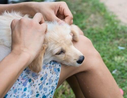kvinde behandler hunds sår