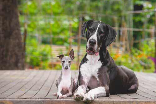 Hvorfor har små hunde mere karakter end store?