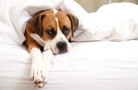 Syg hund i sengen.