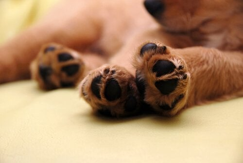 trædepuder på en hund