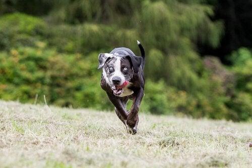 Hundevæddeløb er forbudt - langt om længe!