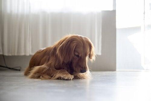 Hvorfor slikker hunhunde sig i skeden?