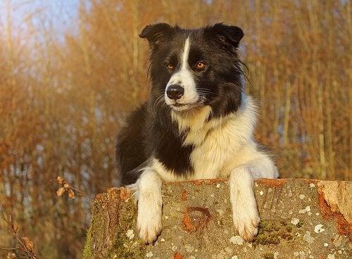 Border collie sidder på træstub.