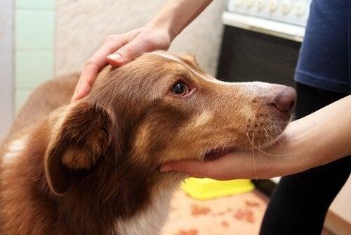 Hund hviler sit hoved i ejers hænder.