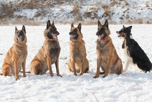 Den belgiske hyrdehund laekenois