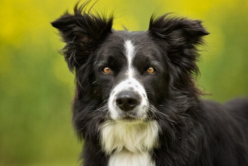 En border collie med sin sort-hvide pels