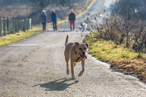Hvor længe skal jeg lede, hvis min hund løber væk?